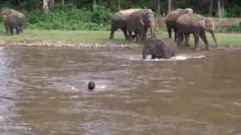 Hier eilt ein Elefant einem Mann im Fluss zu Hilfe, um ihn vor dem Ertrinken zu retten.