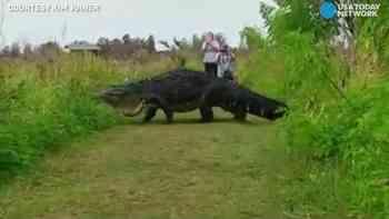 Florida ist bekannt für grosse Alligatoren – aber dieses Exemplar hier ...