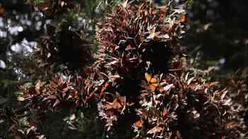 Pure Magie: Die Monarchfalter Nordamerikas versammeln sich in den mexikanischen Bergen