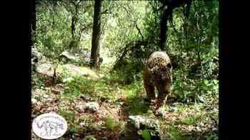 Höhepunkt einer friedlichen Jagd: Der einzige wilde Jaguar der USA tappt in die Foto-Falle